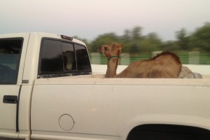 Camels: Look like bastards, but also seem to enjoy road trips as well